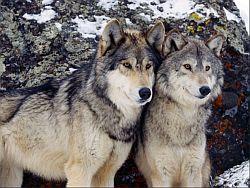 Hungarian_Gray_Wolf