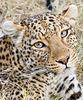 Leopard_Gotcha