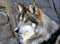 Mexican_Arizona_Gray_Wolf